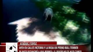 Bull Terrier Ingles Cruel Ataque !!! - Bull Terrier Ingles Vicious Attack !!!