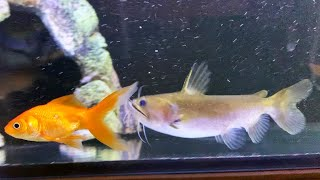 Do BLOB CATFISH like GOLDFISH?