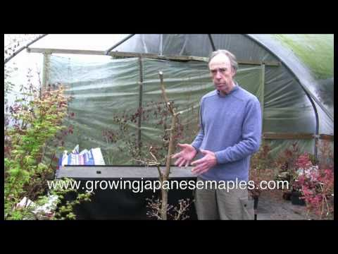 Growing Japanese Maples Container Cultivation 2