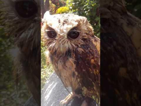Eule Goli hat Badetag (wet Owl & sweet owlsounds)