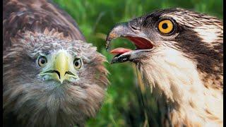 Орлан-белохвост против Скопы | Film Studio Aves