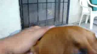 Pitbull/bulldog And  Weimaraner