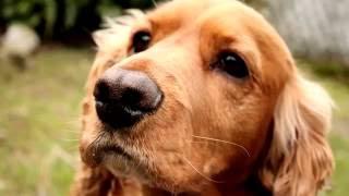Порода собак.  Английский кокер-спаниель.Очаровательные песеки,самые маленькие среди охотничьих псов