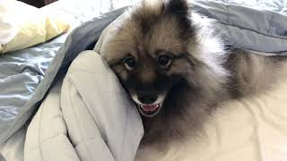 Keeshond Helps Make Bed