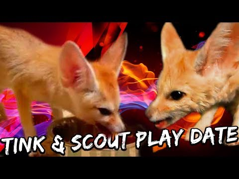 Tink & Scout - Fennec Fox Play Date