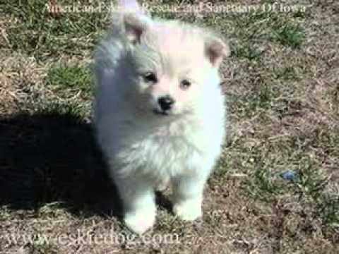 American Eskimo Dogs Toyminaturestandard Youtube
