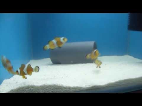 Clownfish Stock for Sale in Delhi   In quarantine system