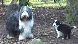 Bearded Collie puppies 15 February 2017