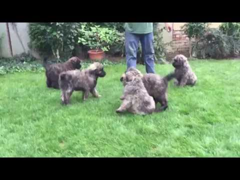Bouvier des Flanders Puppies for sale