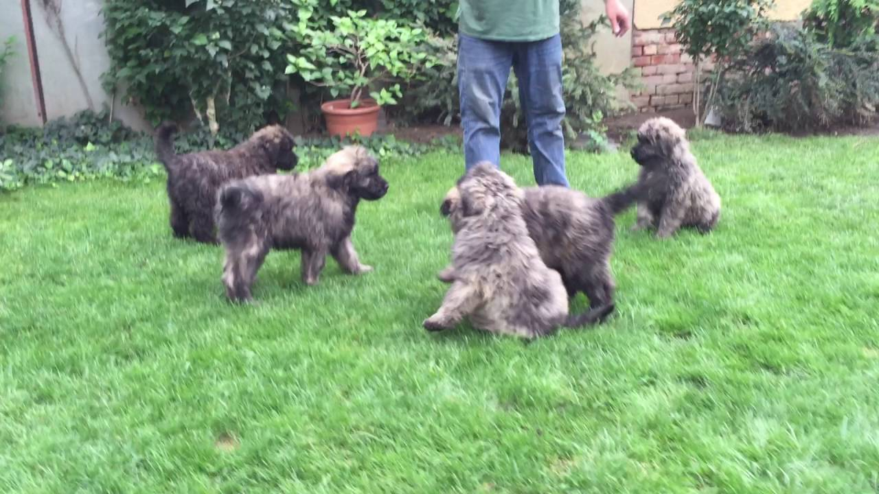 Bouvier Des Flanders Puppies For Sale Youtube