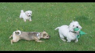 Jug Dog Bridie Paddy Westie & Peps Bichon At A & B Dogs Boarding & Training Kennels.