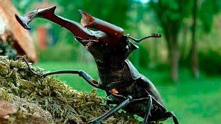 Жук-олень (Lucanus cervus)