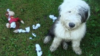 What to expect when expecting...┃... an old english sheepdog┃Ed&Mel