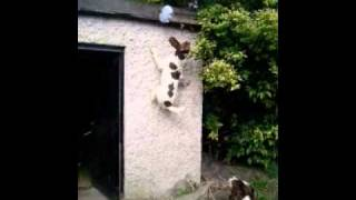 "Springer Spaniels ""attack"" New Washing Line.mov"