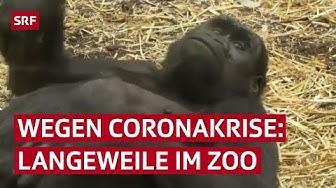 Gelangweilte Affen im Zoo leiden wegen dem Coronavirus | Reportage | SRF News