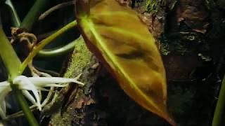 POLYPHONY OF THE DEEP RAIN FOREST  -  Ituri Pygmies  (EDIT)