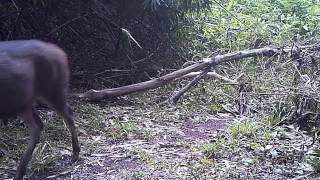 Sambar and barking deer, Wildlife of Thailand