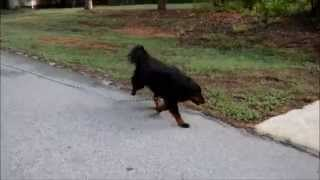How To Train Your Dog To Walk Off Leash - Part 2
