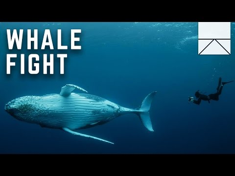 Diving Into A Humpback Whale Fight
