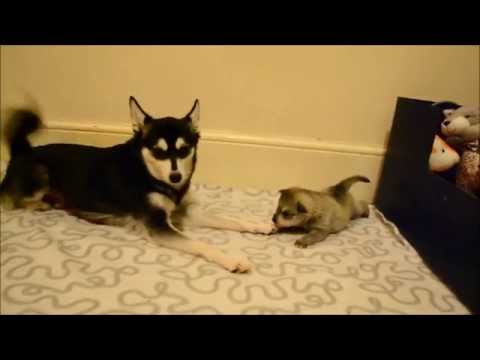 Alaskan Klee Kai teaching one of her pups to play