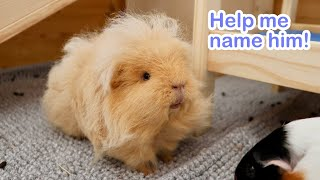You Get to Vote for New Guinea Pig's Name