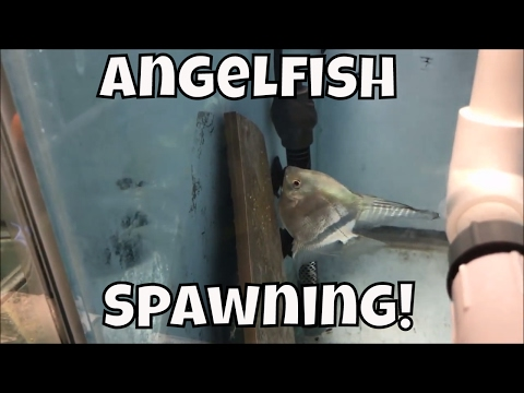 Watch Angelfish Spawning! Using Methylene Blue To Artificially Rear Eggs