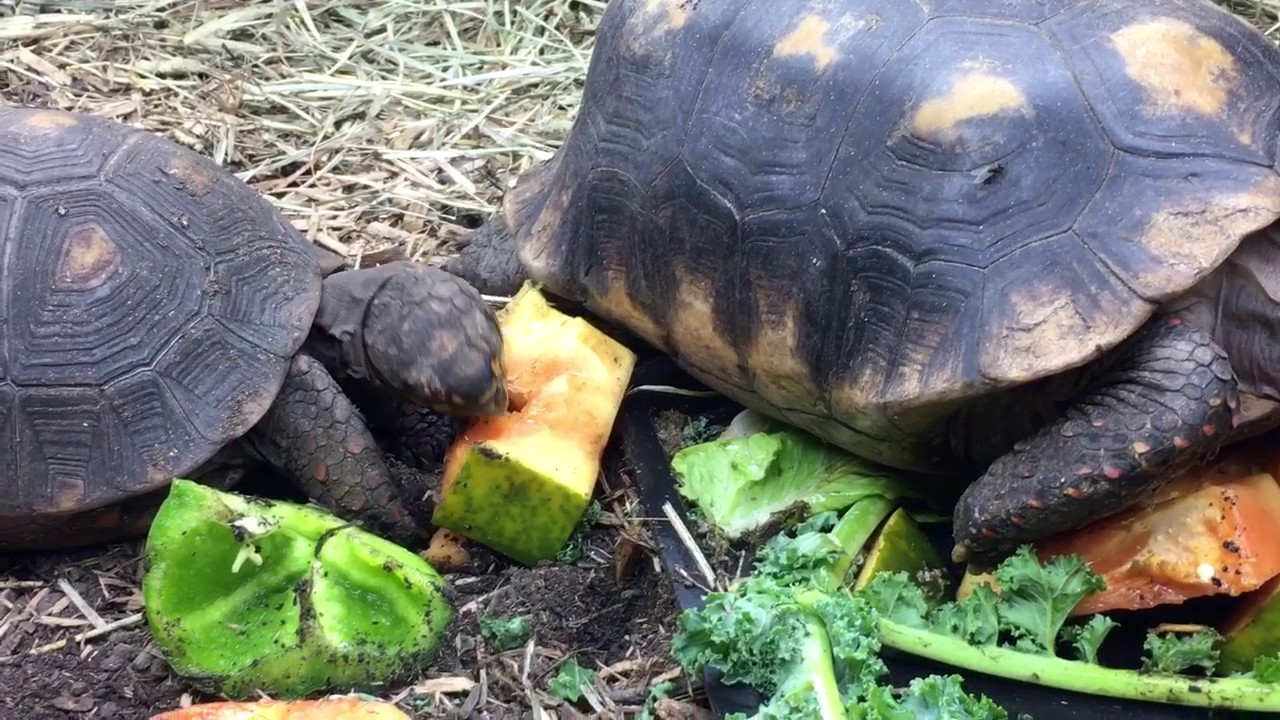 red footed tortoise Adult