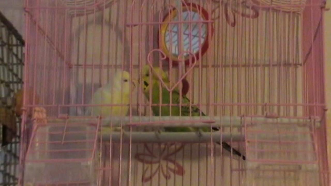 Знакомство Волнистых Попугаев