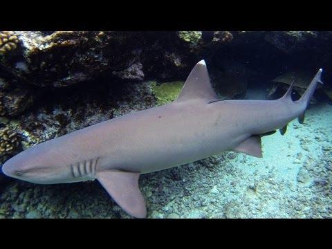 dee83e1559 Hawaiian White Tip Reef Sharks (snorkeling) - YouTube