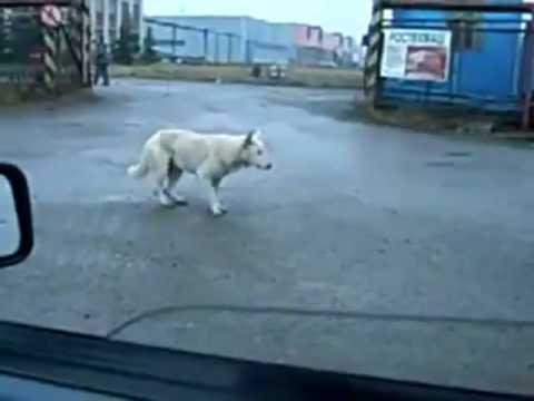 Dog dancing on beat