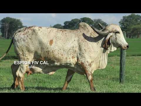 LOTE 05   OLIMPO FIV CAL   CAL 13213
