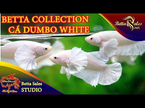 Dumbo White Plakat - www.BettaSales.net | Cá Betta Tai Voi