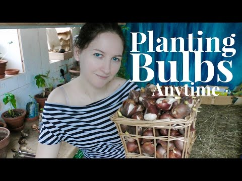 Bulbs: Grow Bulbs Anytime - forcing bulbs to bloom