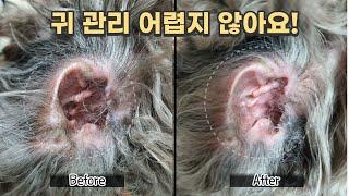 강아지 귓병 예방! 귀 청소, 귀 털 뽑기 하는 법 ㅣ…