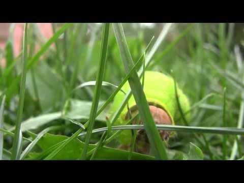 large Luna Moth caterpillar (actias luna) walks toward camera in Autumn