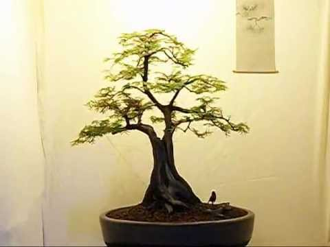 Unusual Dawn Redwood Bonsai.