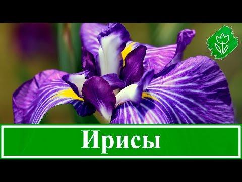 Энциклопедия растений: Ирис (Касатик)