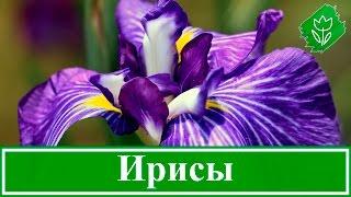 Цветы ирисы – выращивание: уход и посадка ирисов, сорта(, 2016-02-07T13:35:14.000Z)