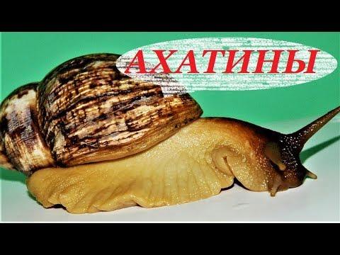 ахатины содержание размножение