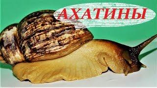 Улитки Ахатины, уход, размножение и содержание, чем кормить. Achatina fulica.