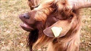 PUIVERT (Aude) Images Nature 02 : Chèvres-la cour de récréation