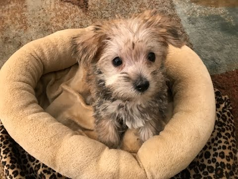 Morkie Pups For Sale - Michelines Pups