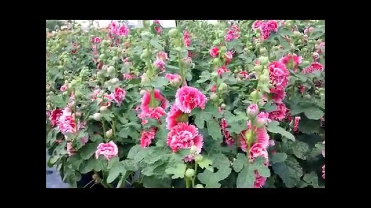 Best Perennials Alcea Fiesta Time Hollyhock Youtube