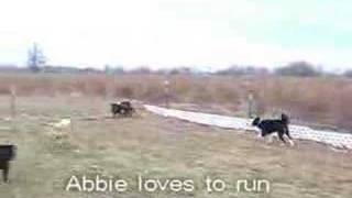 Abbie Weimaraner Adoption Rescue Dog