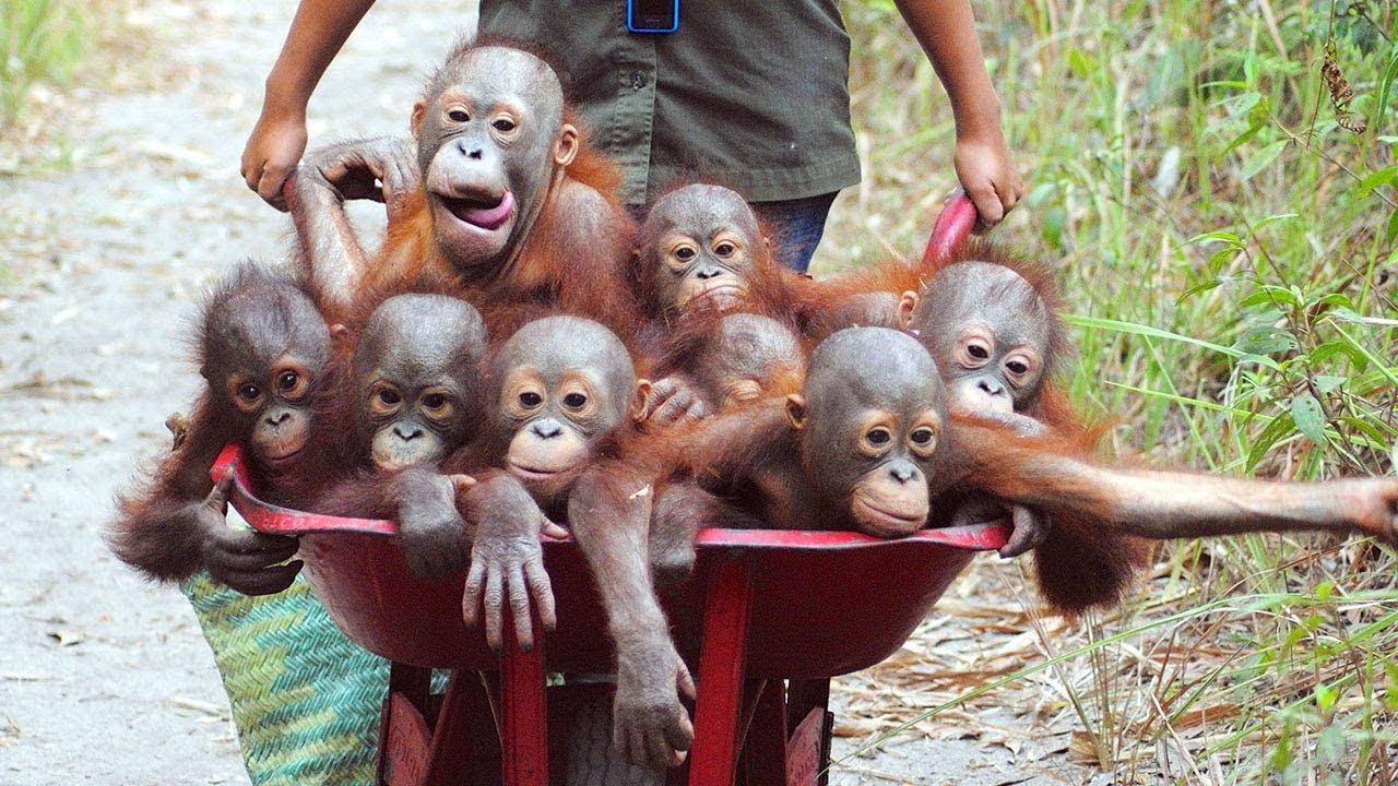 Orangutan - Funny Orangutans And Cute Orangutan Videos || NEW - YouTube