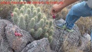 Gambar cover pitaya mexicana del desierto/juancho ranch mx