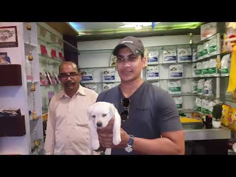 Labrador Retriever Dog Names | Labrador were bred for physically demanding jobs | Call 96999 99338