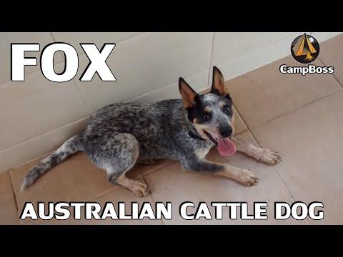 Adestrando um Australian Cattle Dog (Blue Heeler) - Frisbee Time