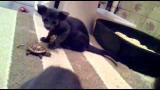 Ориентальные котята из кыргызстана.продажа котят.00996 555 484 494 Виктория))