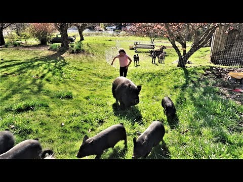 THESE PIGS RUN TO THEIR NEW HOME!